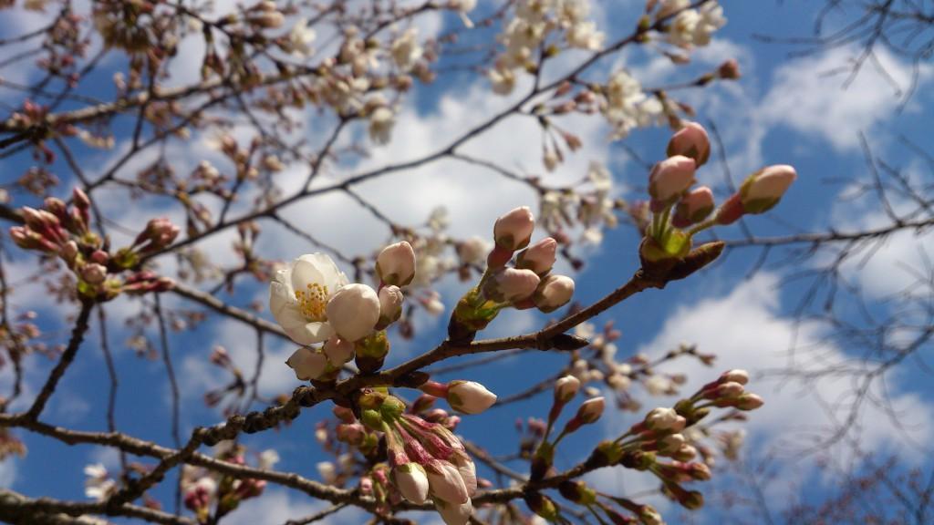 亀山桜0325