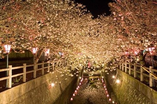 2015中野川八重桜