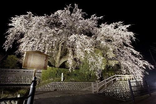 2015大原おおしだれ桜