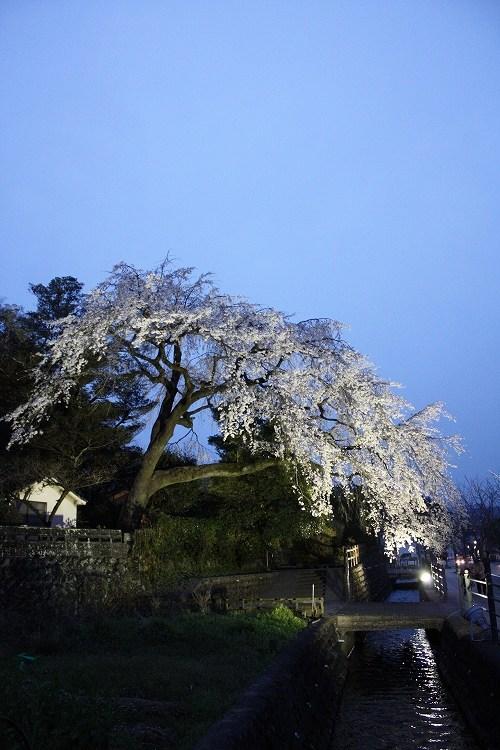 大原しだれ桜ら(ライトアップ)