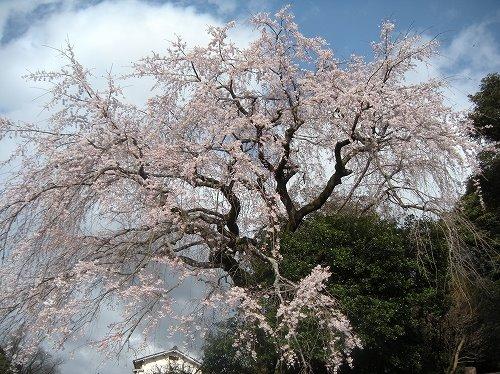 大原しだれ桜2013